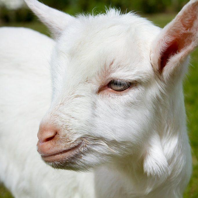 the-drunken-nanny-goats-cheese-01